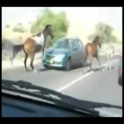 شاهد الحصان يدوس سيارة